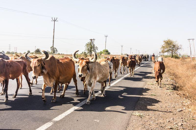 Resultado de imagem para recolhimento de animais soltos nas estradas