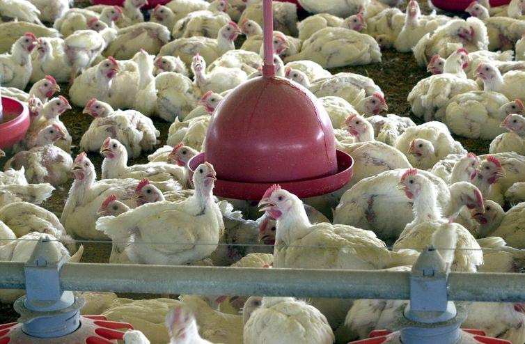 Produtores de aves e ração reclamam de bloqueios e prejuízos