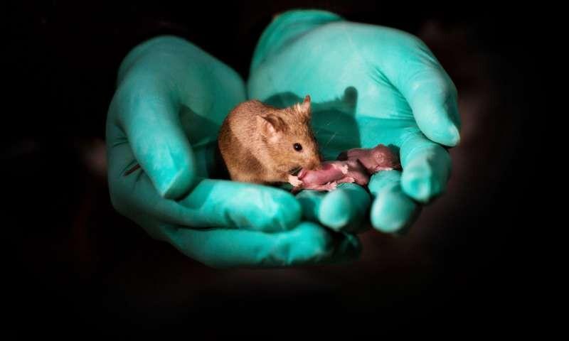 Cientistas fazem dois ratos do mesmo sexo se reproduzirem