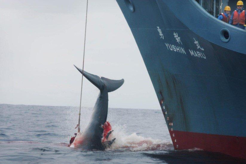 Retomada à caça de baleias no Japão é retrocesso, diz ministro do Meio Ambiente