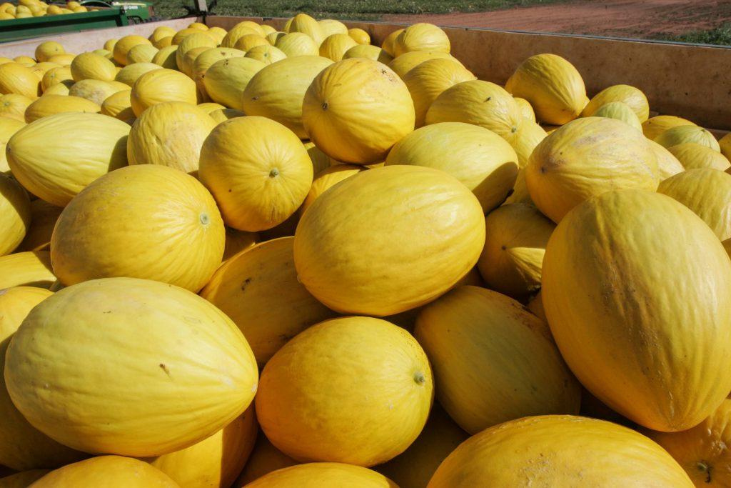 Produção de melão no RN deve dobrar para atender a China