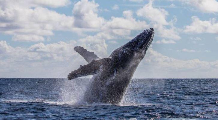 j Pescador sobrevive após ser 'engolido' e cuspido por uma baleia jubarte